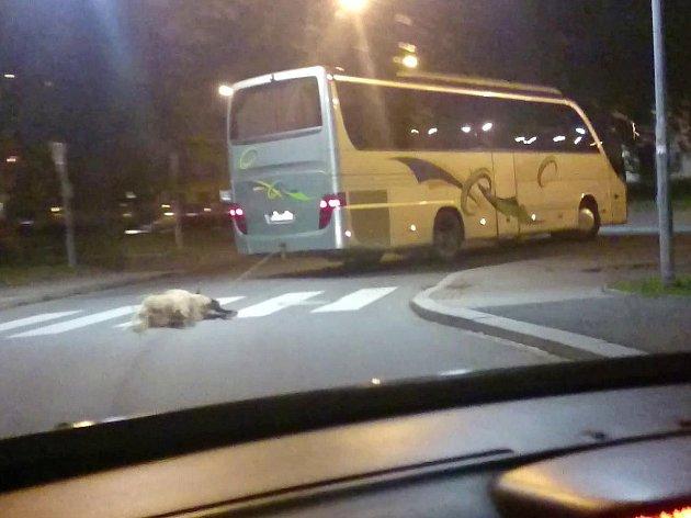 Autobus táhl za sebou ovci.
