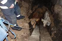 Hasiči v Bernarticích vyprošťovali krávu a tele, které propadly do sklepa