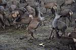 Pozorování jelenů na Šumavě.