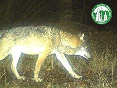 Vlk zachycený fotopastí na Šumavě.