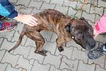 Týraný stafford v klatovském psím útulku.