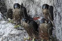 Mláďata sokolů sttěhovavých na hnízdě