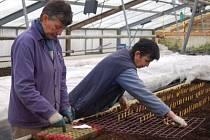 Ladislava Kučerová a Jiřina Marcinkiewiczová sázejí očka (vykrojená část bramborové hlízy s klíčkem) pro testování bramborových rostlinek na přítomnost virových chorob.