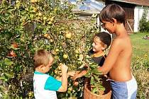 Letošní úroda jablek nebude příliš dobrá. Plísně, strupovitost i hniloba totiž dělají na zahrádkách velké škody. S trháním jablek, které skončí ve výkupně ovoce, pomáhají na zahradě také kluci Honzík, Daniel a Oleh v Němčicích u Klatov.