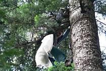 Sběr osiva v NP Šumava