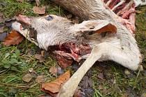 Zvíře stržené a částečně sežrané rysem