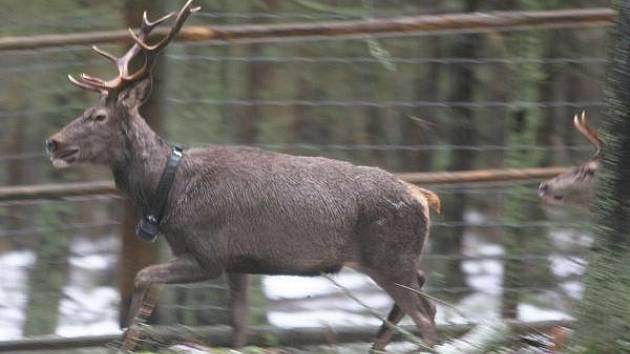 Zvířata sledovaná na Šumavě pomocí telemetrie a fotopastí.