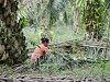 Vysazování palmy olejné