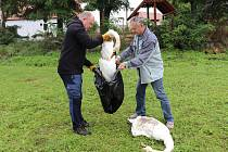 Idylka labutí rodiny ve Smrkovci skončila, rodiče zastřelil lovec při honu na kachny.