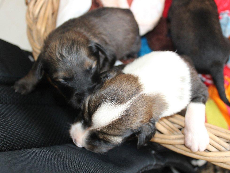 Miloslava Šeflová z klatovského psího útulku krmí štěňata, která byla nalezena na poli u Radkovic na Klatovsku.