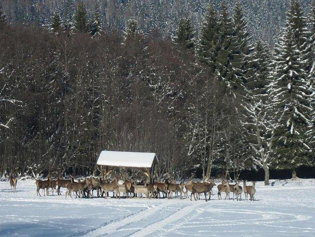Jeleni na pozorovacím místě Beranky u Srní, ilustrační foto