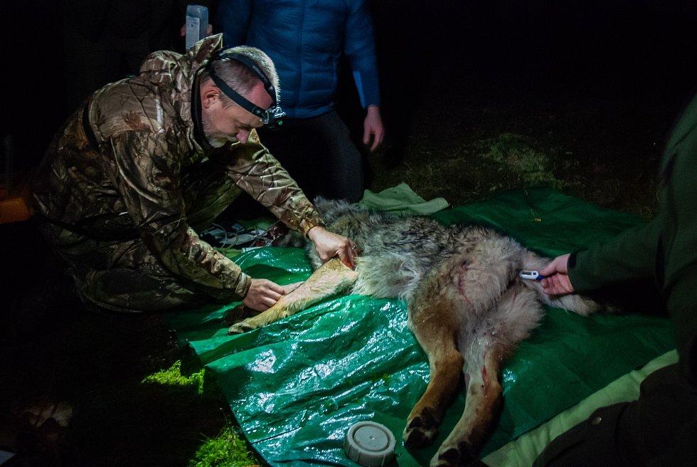 Vědci, ochránci přírody a s nimi i veřejnost mají nyní unikátní šanci nahlédnout do života divoké šumavské vlčice. Podařilo se ji odchytit a nasadit jí telemetrický obojek.