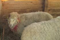 Potrhaná ovce v Lubech