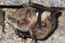 Dva ze sčítaných šumavských netopýrů