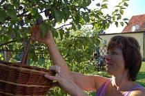 Letošní úroda by pěstitelům i zpracovatelům mohla nahradit ztráty z loňského roku, kdy ovoce poškodily jarní mrazíky.  Je dostatek jablek, švestek, meruněk i hroznového vína. Na snímku se z úrody raduje i  Lenka Rajčoková.