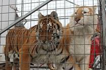 Cirkus Arlet, který hostuje od 23. do 26. března v Klatovech láká na zlaté tygry.