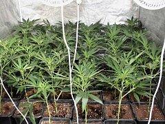 Nalezené rostliny konopí.