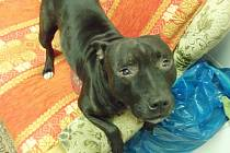 Pes, jehož majitelé nechali v bytě několik dní bez žrádla a pití.