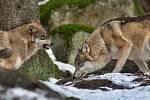 Návštěvnické centrum NP Šumava v Srní, kde je možné vidět i vlky.