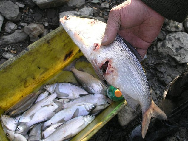 Kormoráni velcí, kteří loví hromadně, často ryby i smrtelně poraní.