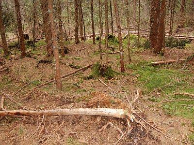 Stromy napadené kůrovcem, Gerlova Huť
