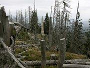 Stromy napadené kůrovcem, Plechý