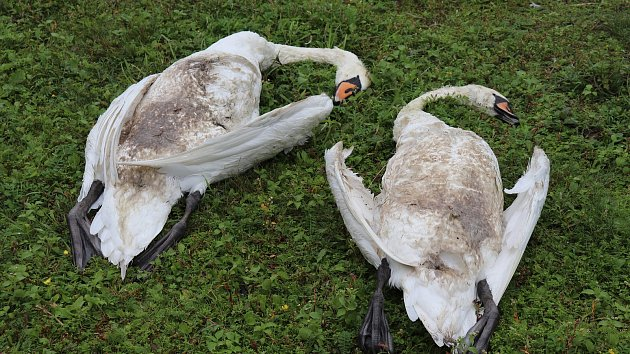 Zabité labutě