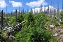 Přirozená obnova lesa u Plešného jezera, lokalita 2 v roce 2011