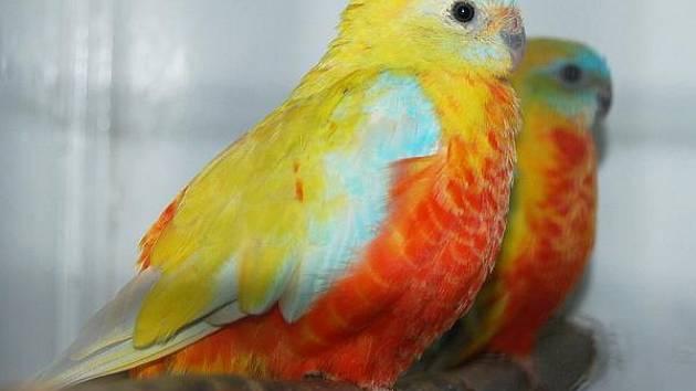 Výstava kanárů a papoušků v Klatovech