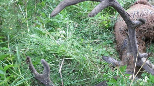 Střet auta s jelenem u Hartmanic na Šumavě.