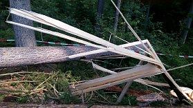 Strom, který usmrtil dřevorubce u Hartmanic.