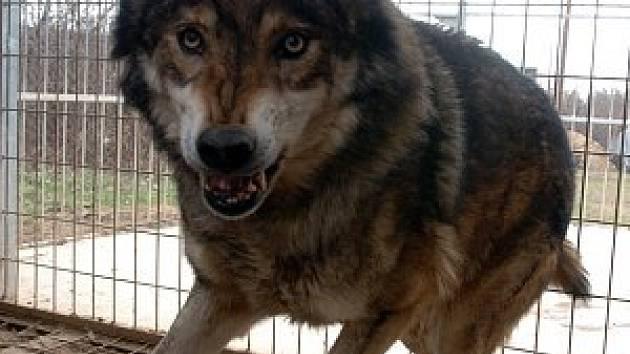 Vlk se vrátí na Šumavu.