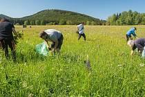 Lupina mnoholistá v národním parku škodí, proto ji likvidují.