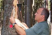 Železnorudský lesní správce Petr Najman ukazuje strom napadený kůrovcem
