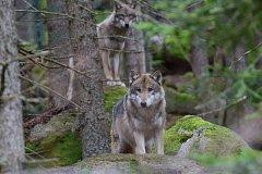 Žáci z Pačejova viděli za odměnu jeleny i vlky.