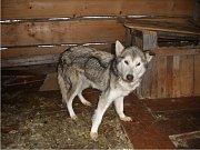 Dvě fenky byly nalezeny ve zbědovaném stavu v kotci u Železné Rudy na Šumavě, převezeny byly do psího útulku v Klatovech, kde se je snaží zachránit.