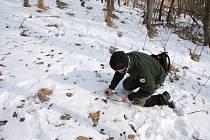 Zaměstnanec NP Šumava při sběru pobytových znaků (trusu) chráněného druhu při jednom z monitoringů.