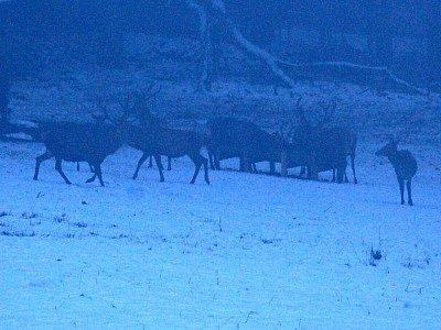 Pozorování jelenů v NP Šumava