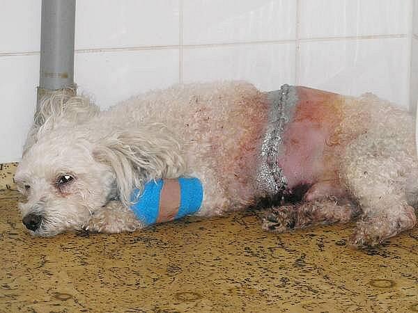 Bernie podstoupil po útoku velkého psa na veterinární klinice složitou operaci, přesto nepřežil.