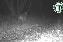 Vlci na Šumavě