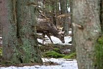 Převoz jelena Standy ze Šumavy do Lán.
