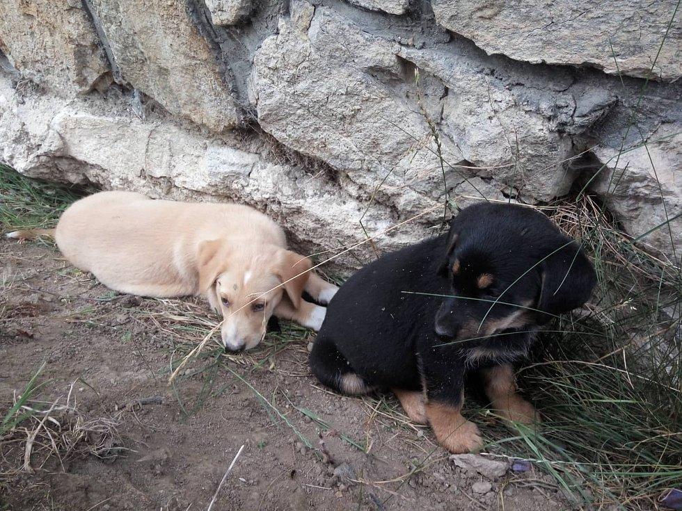Zhruba dvouměsíční štěňata krátce po nálezu u Čimic.
