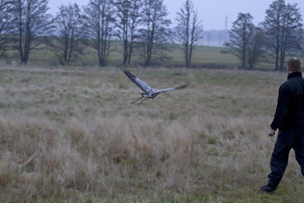 Snímky jeřábů popelavých jsou z letošního roku a několik jich je z roku 2011, kdy jeden mladý zraněný pták skončil v záchranné stanici živočichů v Plzni a poté byl vypuštěn na Tachovsku.