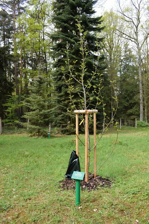 Nové přírůstky v Americké zahradě v Chudenicích.