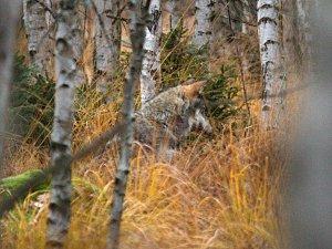 Historicky první snímky divokých šumavských vlků pořízené člověkem a nikoli fotopastí.