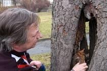Peter Pošefka ze správy městské zeleně ukazuje jeden ze stromů, který bude každým dnem odstraněn. Tento jírovec je napaden vnitřní hnilobou, která rozkládá dřevěnou hmotu.