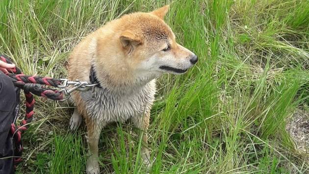 Záchrana uvízlého psa v Plánici.