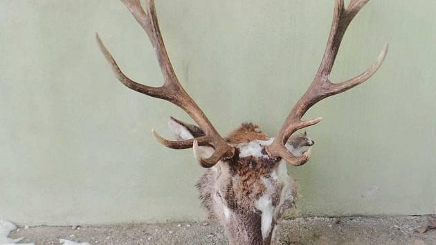 Uříznutá hlava jelena.