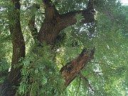 Vrba, která bude pokácena, v parku pod Nemocnicí v Klatovech.