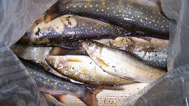 Mrtvé ryby z Nýrska
